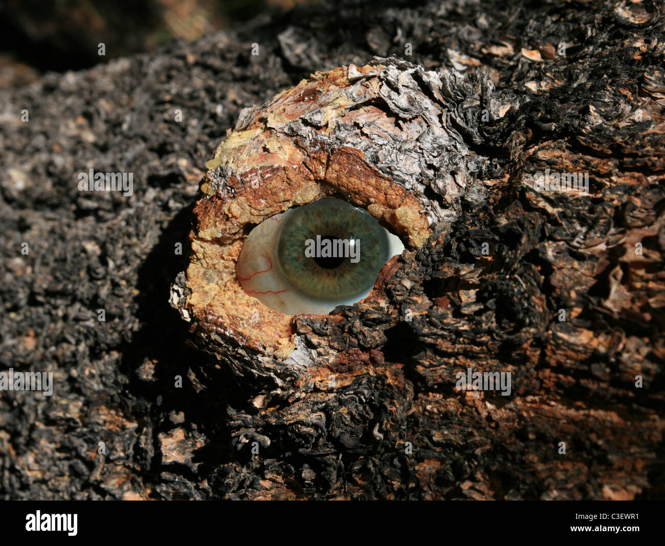 an eyeball inside a tree boll looking out - Stock Image