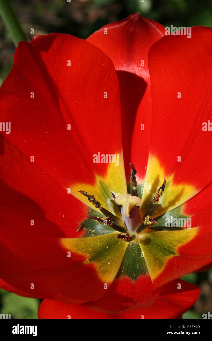 Close Up Of The Reproductive Organs And Petals Of A Red Tulip - Stock Image