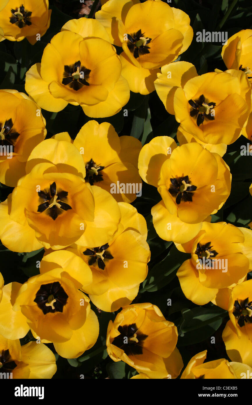 Group of Bright Yellow Tulips Taken at Ness Gardens, Wirral, UK - Stock Image