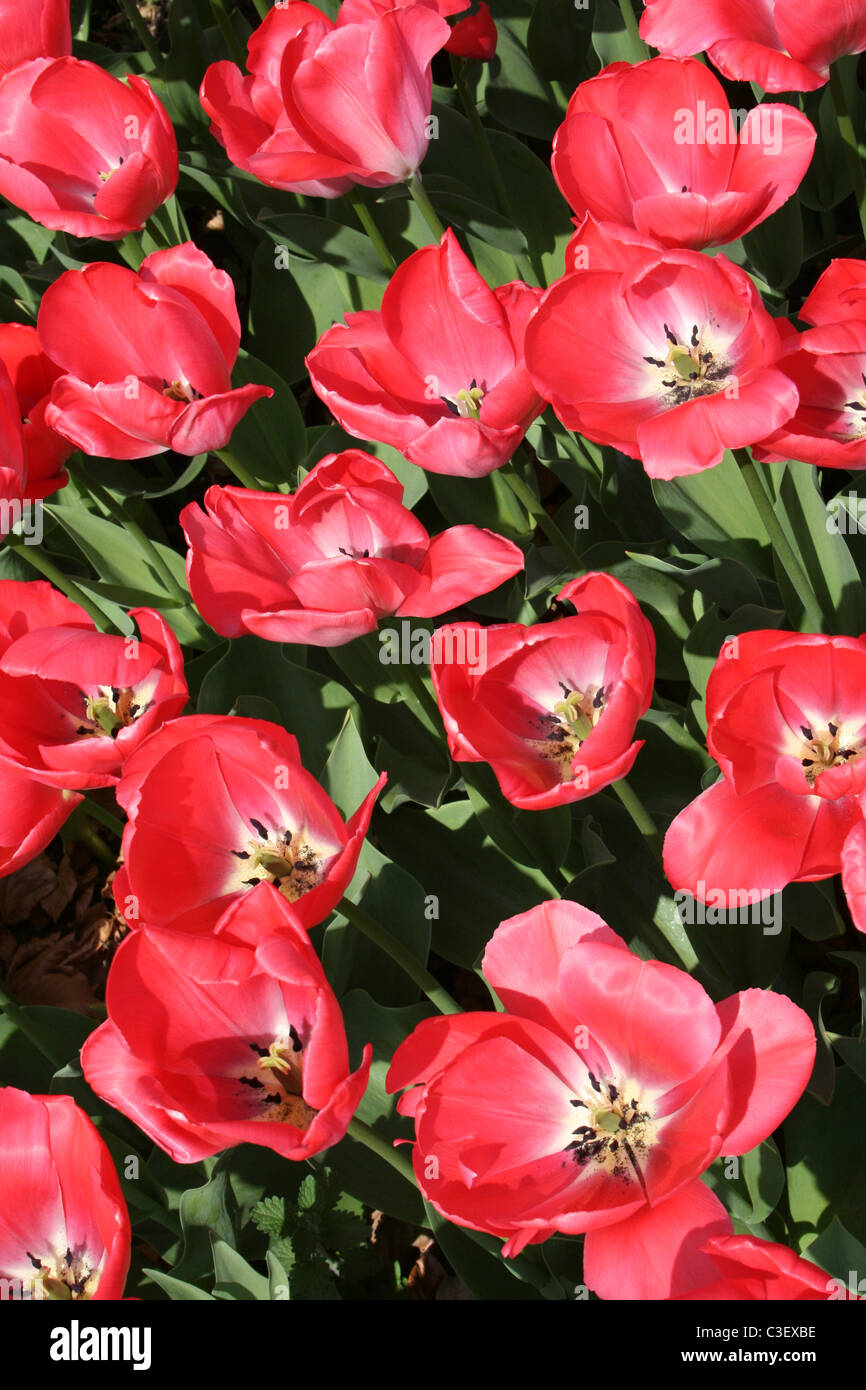 Group of Red Tulips Taken at Ness Gardens, Wirral, UK - Stock Image