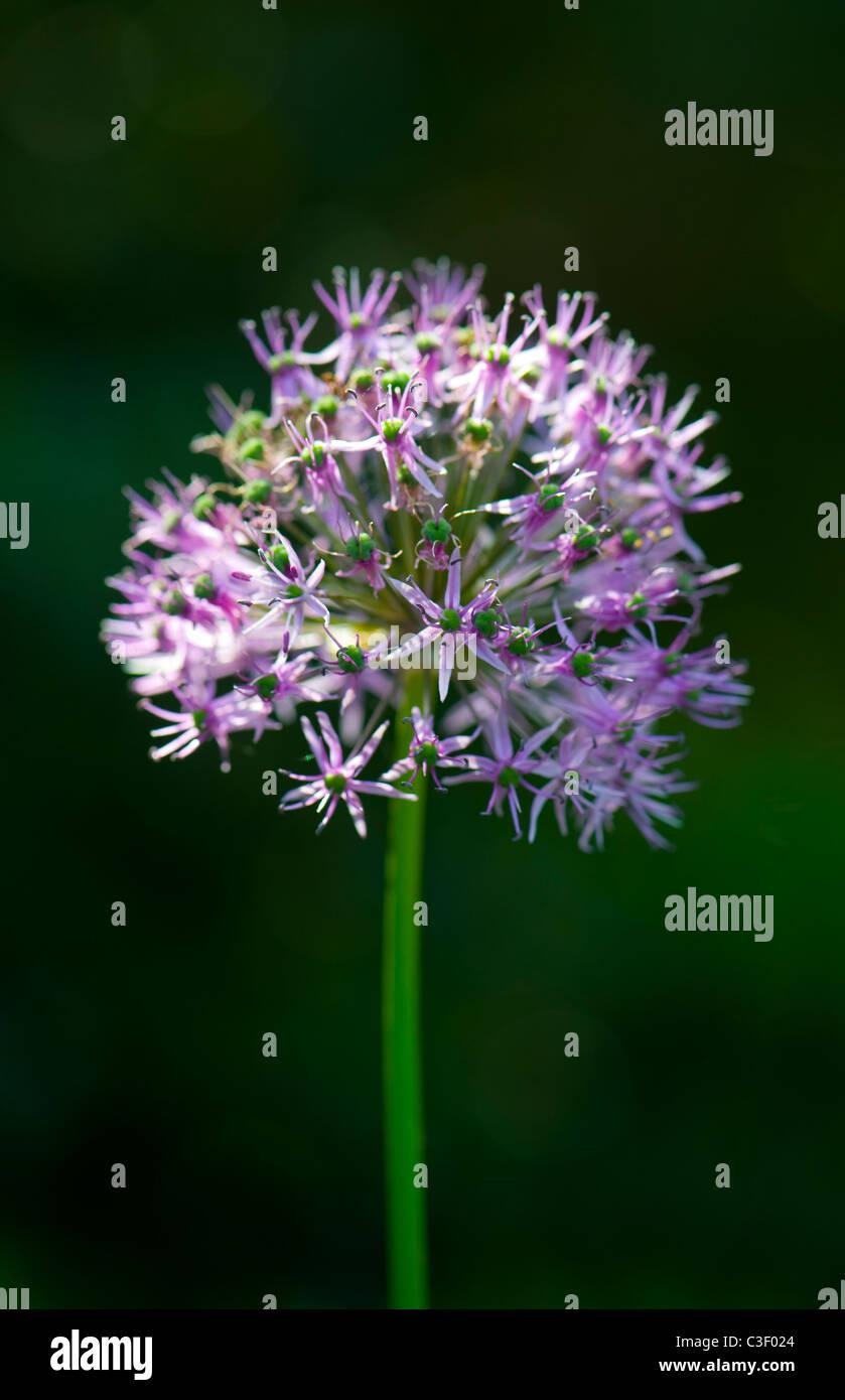 Allium Hollandicum 'Purple Sensation'  flower head - Stock Image