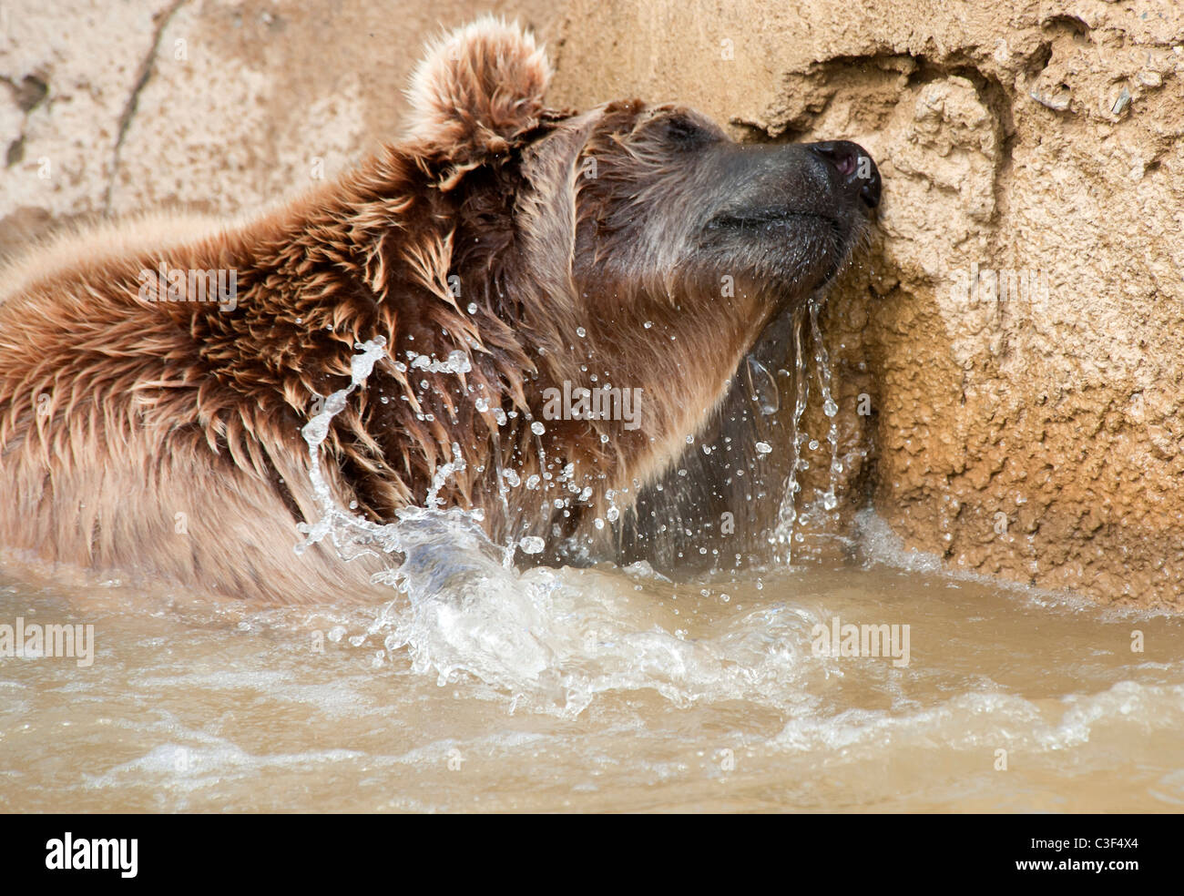 Brown Bear enjoying itself swimming in a pond - Stock Image
