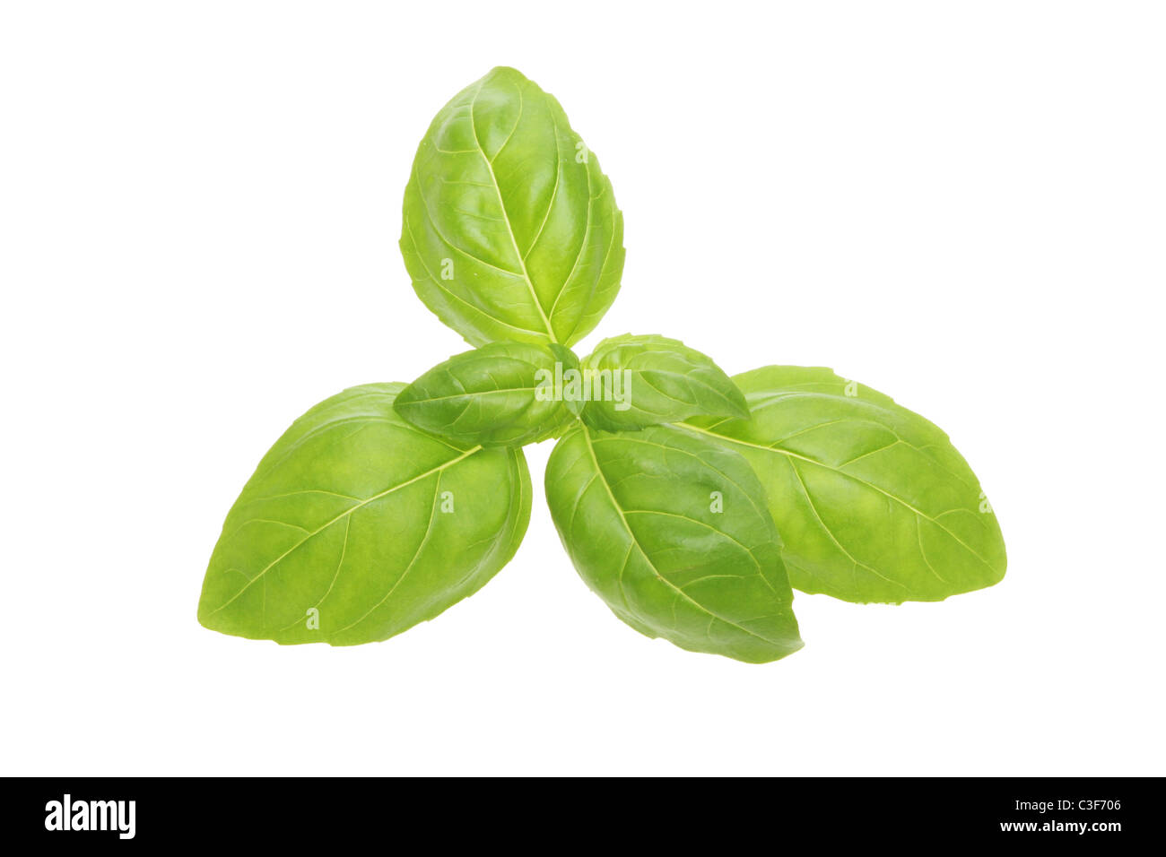 Sprig of fresh basil herb leaves isolated against white - Stock Image