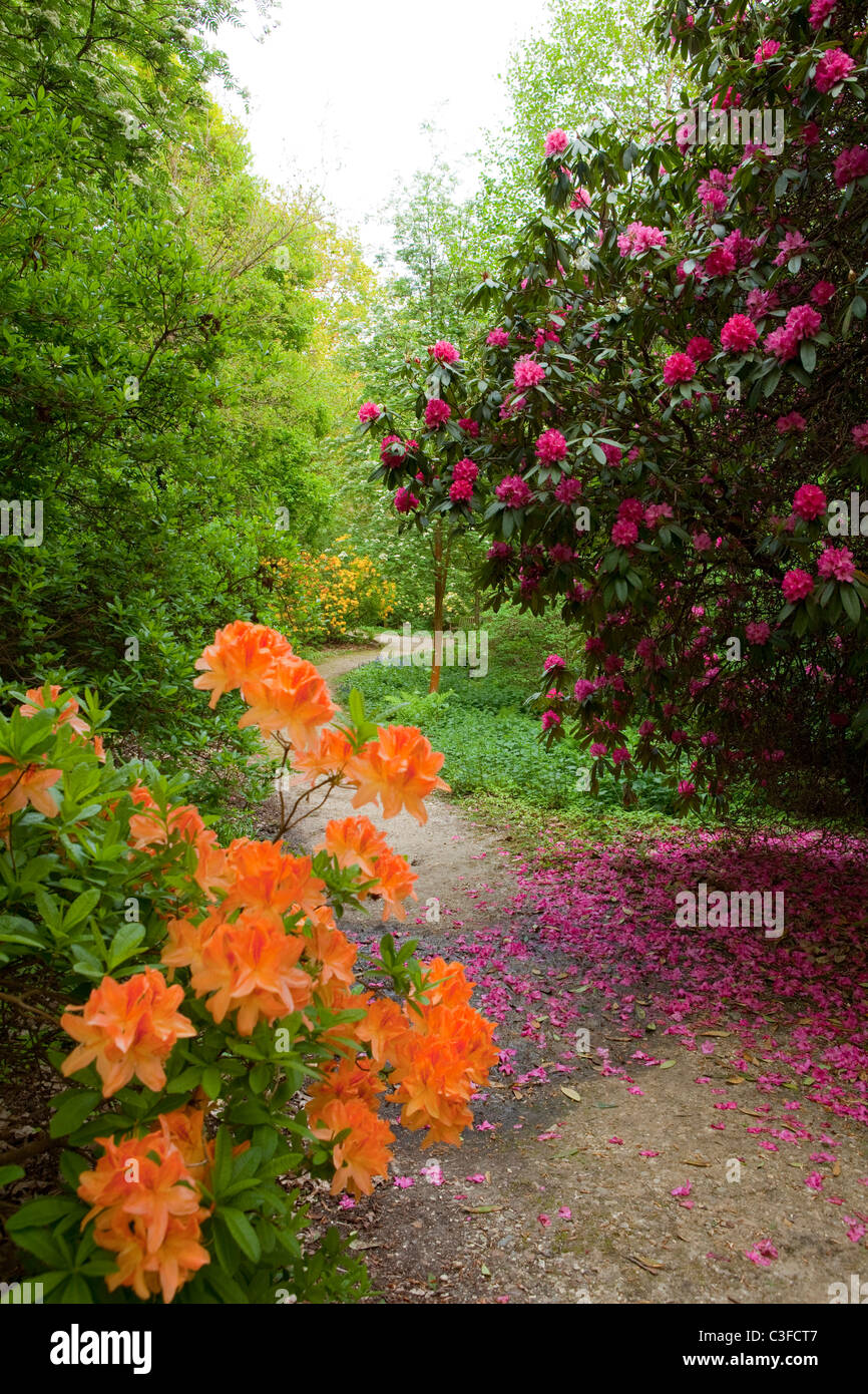 Rhododendron woods Leith Hill Surrey Hills - Stock Image
