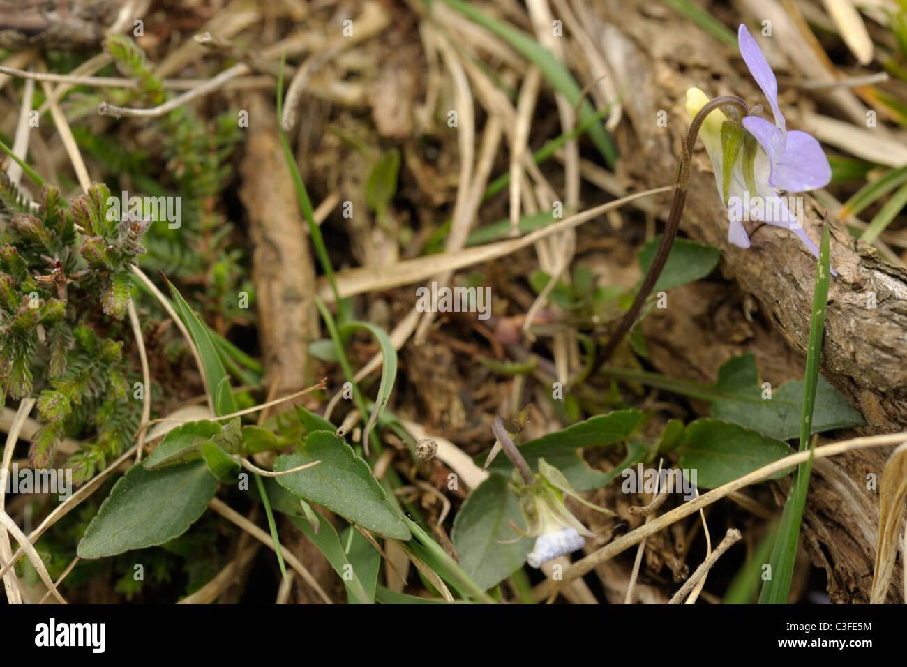 Pale Dog-violet, viola lactea - Stock Image