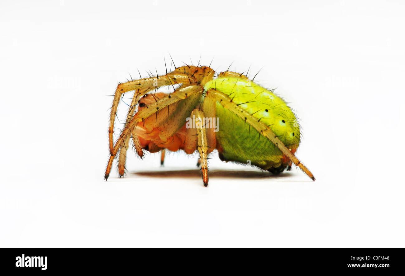 Cucumber spider (Araniella cucurbitina) on white background - Stock Image