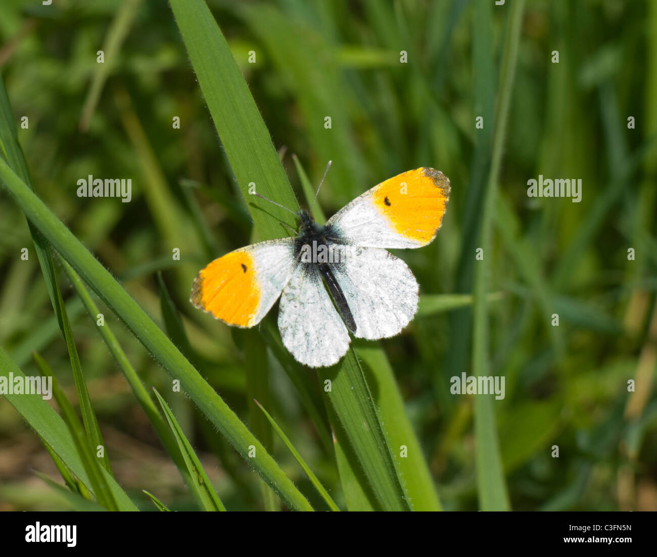 Orange-Tip Butterfly (Anthocharis cardamines), France Stock Photo