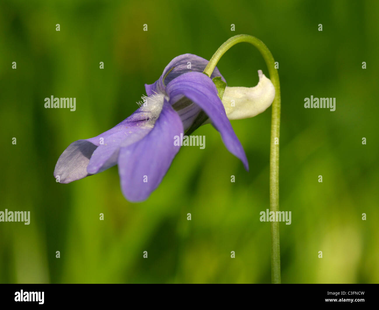 Common Dog-violet, viola riviniana - Stock Image