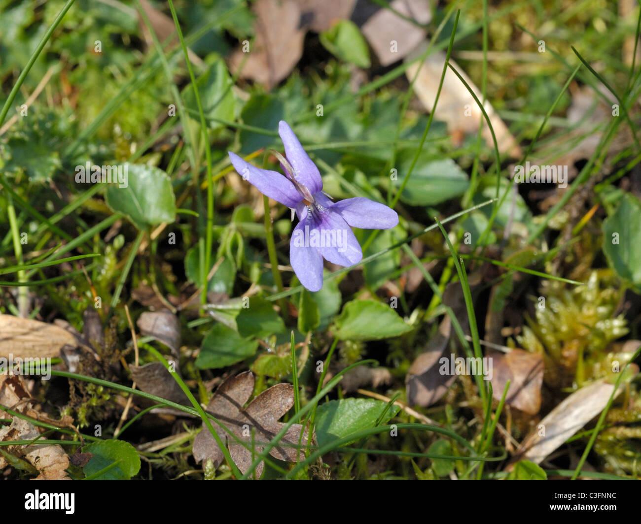 Early Dog-violet, viola reichenbachiana - Stock Image