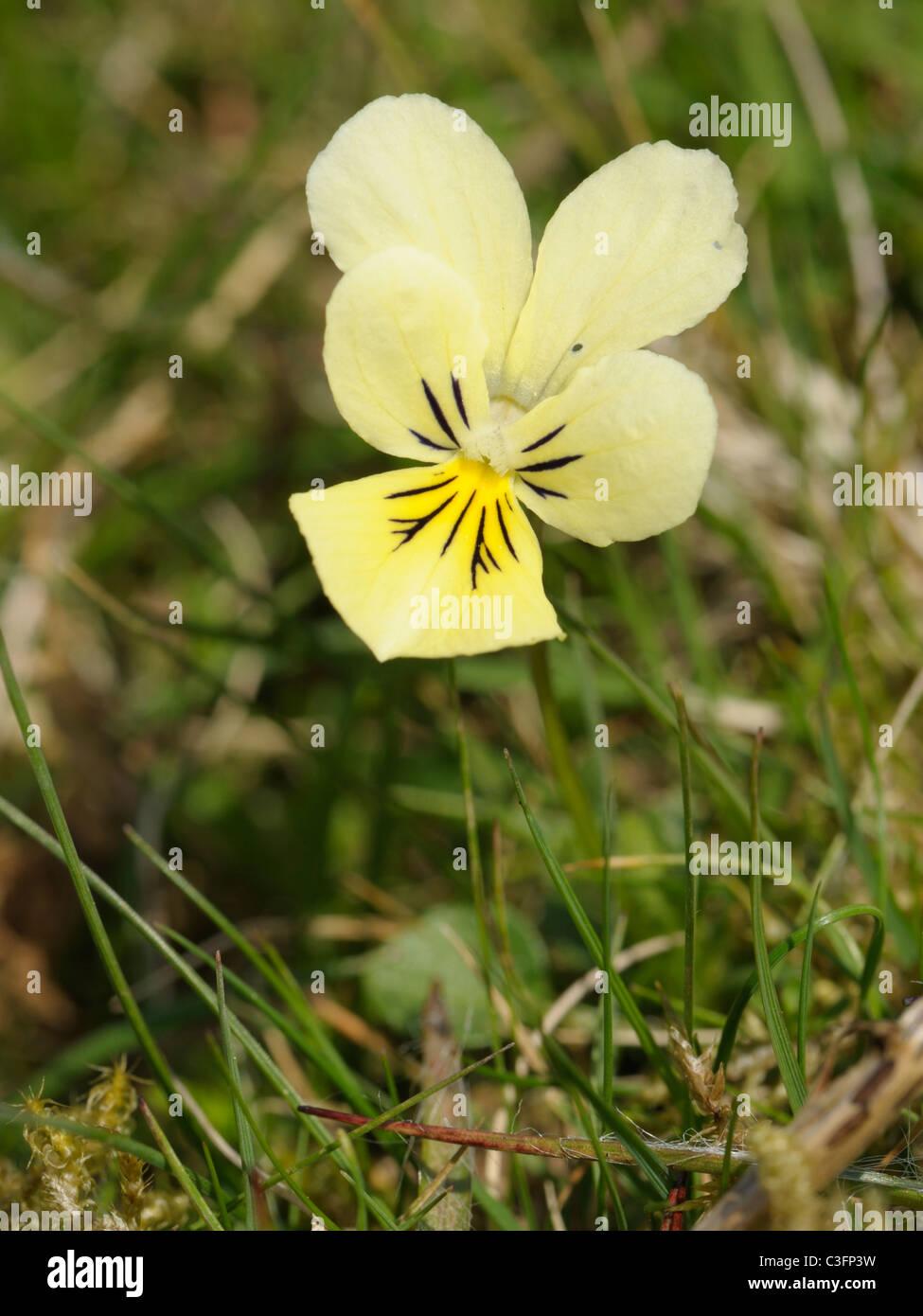 Mountain Pansy - Stock Image