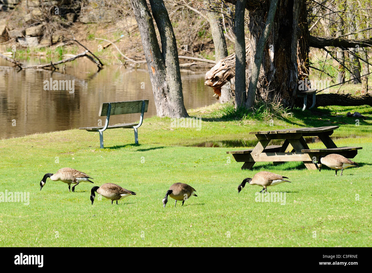 Nuisance Geese congregating in city park near river banks. Stock Photo