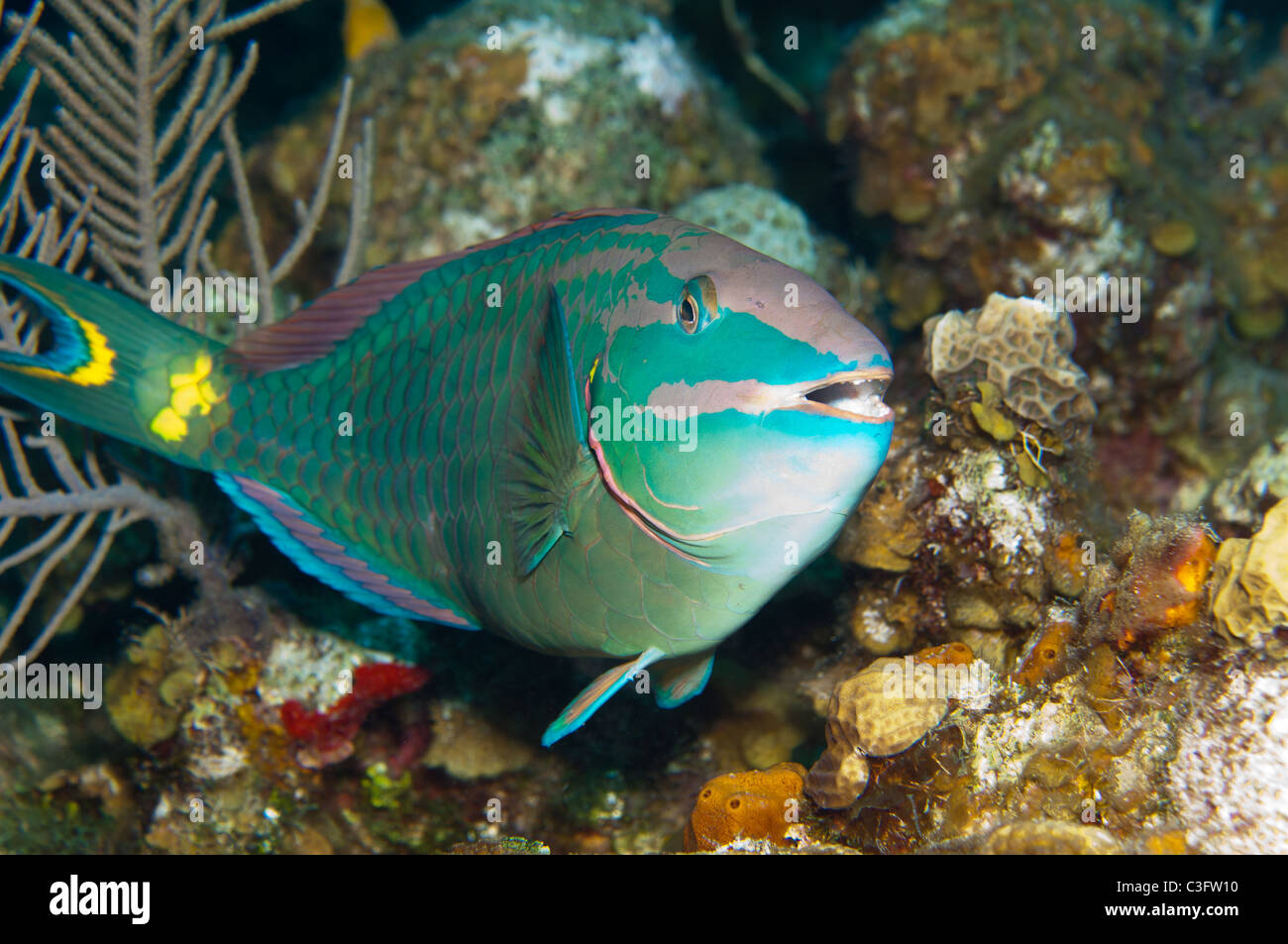 This stoplight parrotfish shows the terminal phase coloration of the the species. - Stock Image