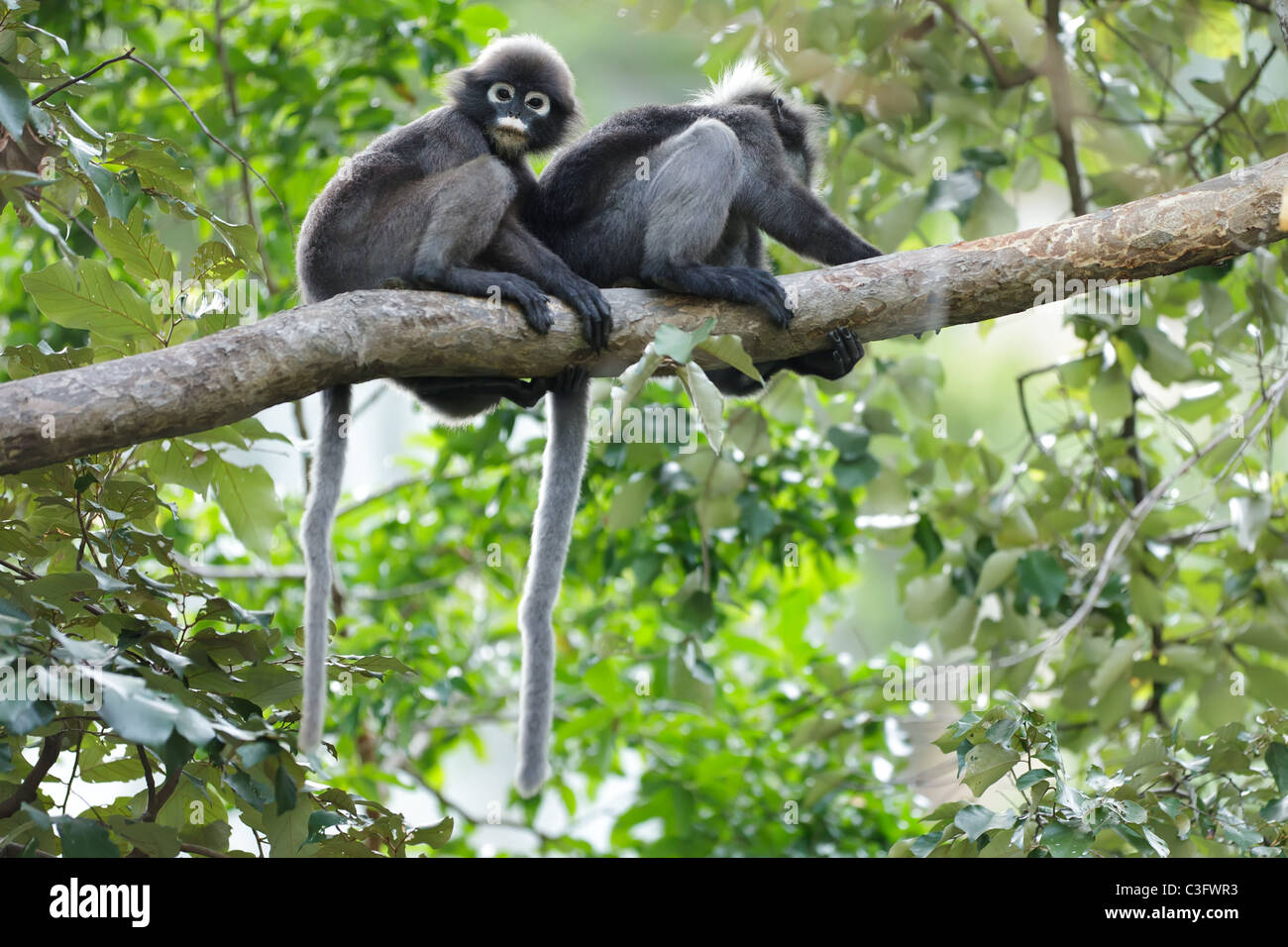 two spectacled langur (Trachypithecus obscurus) on tree branch, thailand - Stock Image
