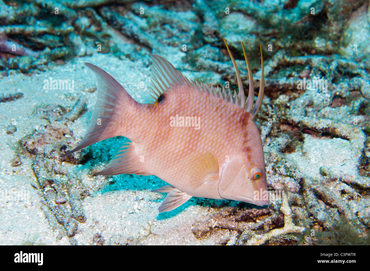 This young hogfish shows the mottled phase coloration patterns associated with this species. - Stock Image