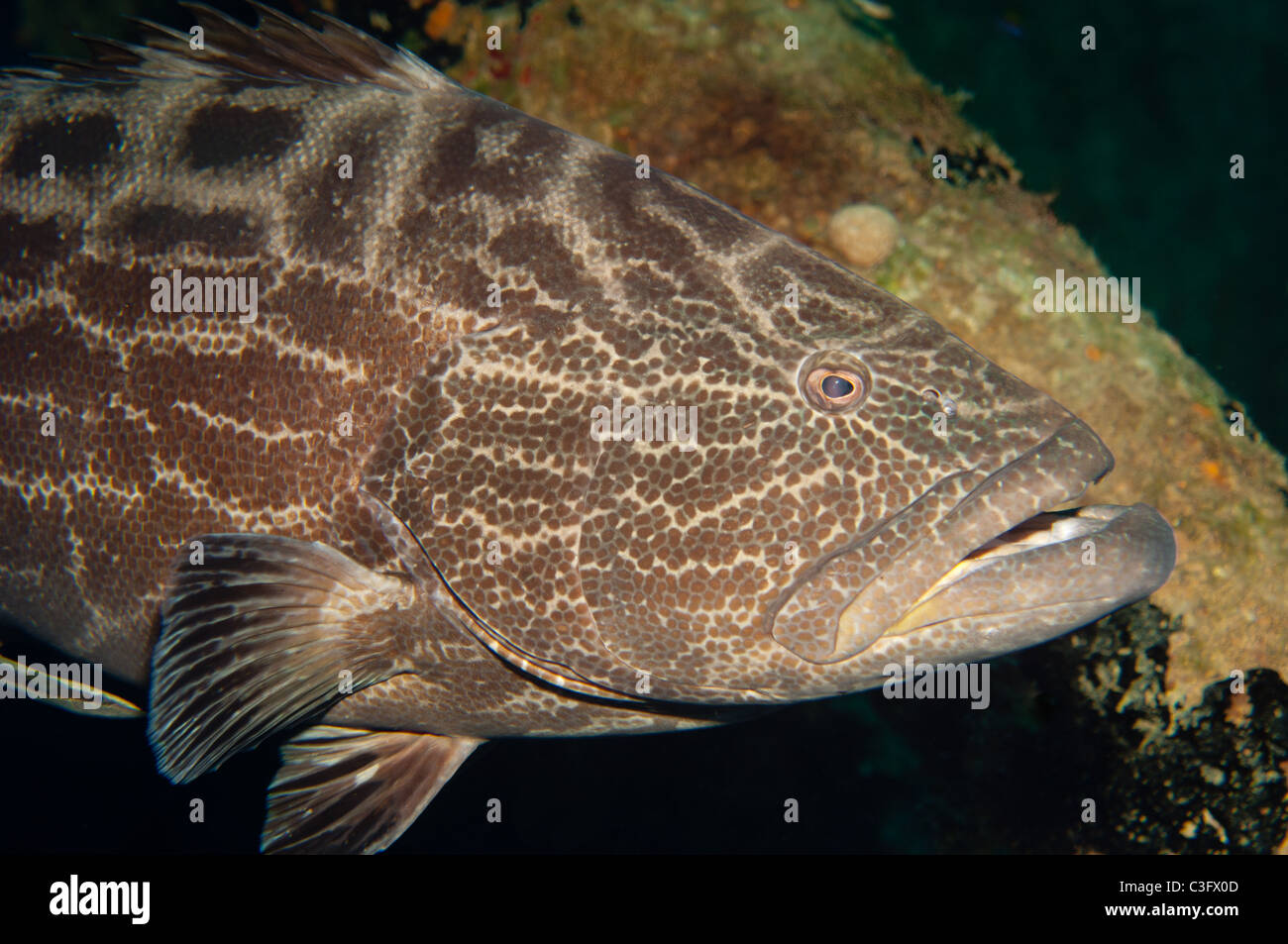 Black groupers are some of the larger predatory fish that can be found on Caribbean reefs. - Stock Image