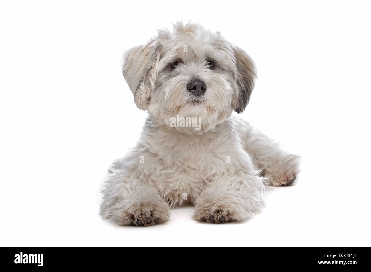 boomer, mixed breed dog in front of a white background - Stock Image