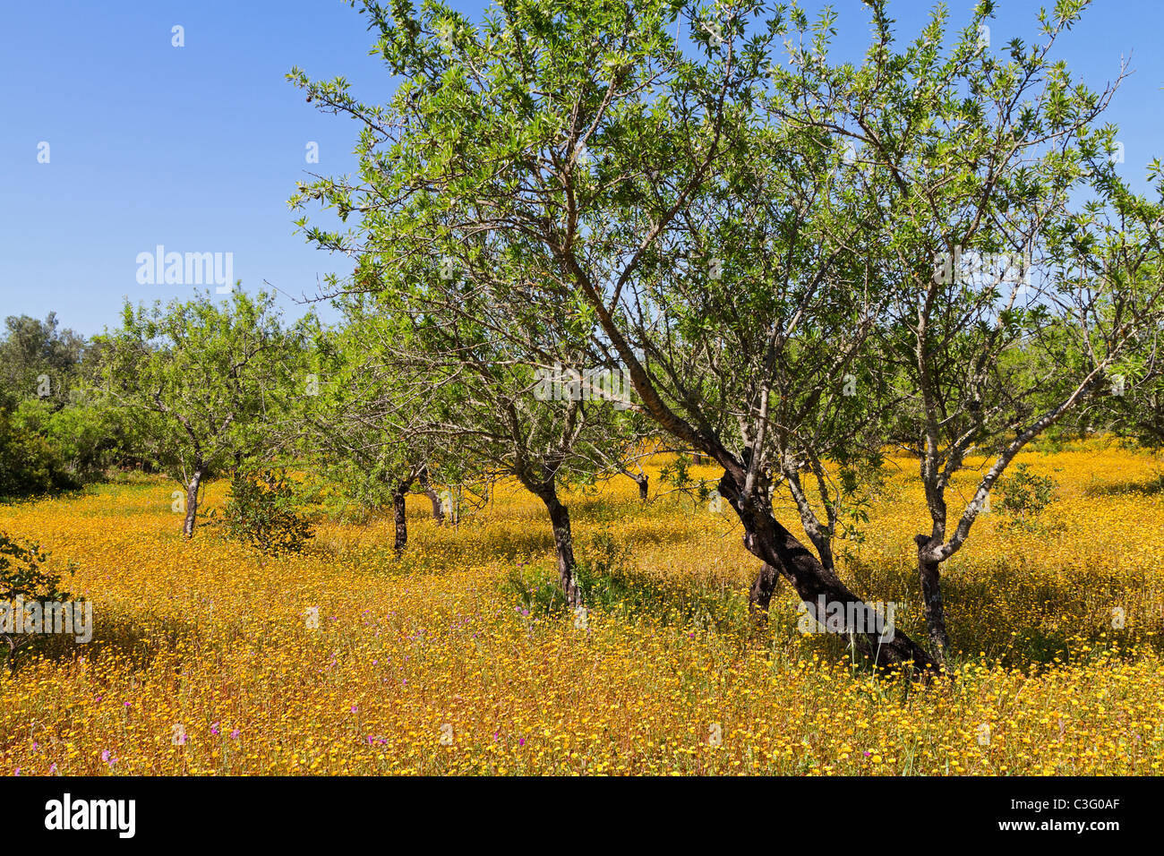 An olive grove with a yellow carpet of field marigolds in spring in the Algarve, Portugal Stock Photo