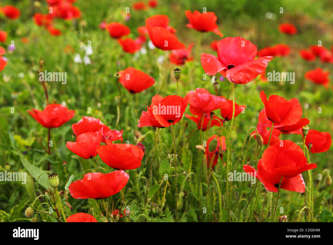 A field of red poppies grows in the spring sunshine. They grow in the Ribentejo District of Portugal. - Stock Image