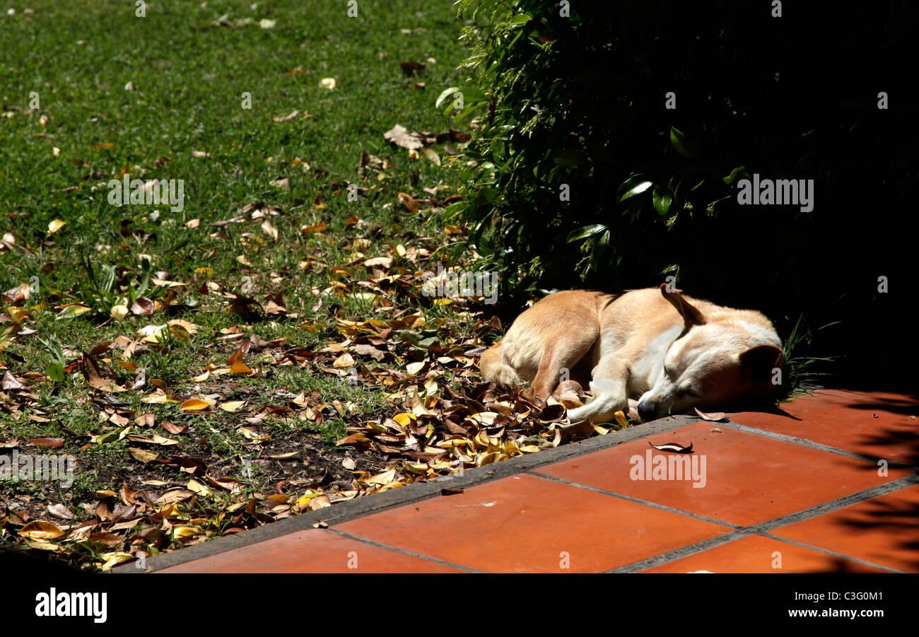 Pet dog asleep sunbathing on sunny terrace, Estancia La Candelaria del Monte, Argentina, South America. - Stock Image
