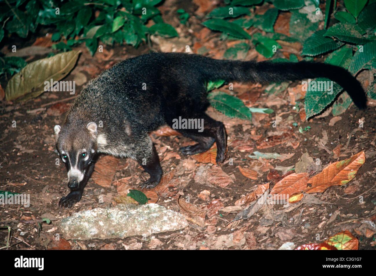 Procyonidae Animals Stock Photos & Procyonidae Animals Stock