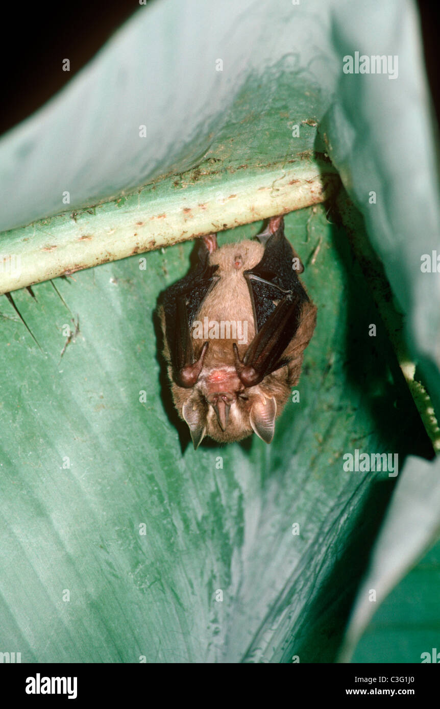 Tent-building / tent-making bat (Uroderma bilobatum: Phyllostomatidae) under its banana leaf tent, in rainforest, Stock Photo