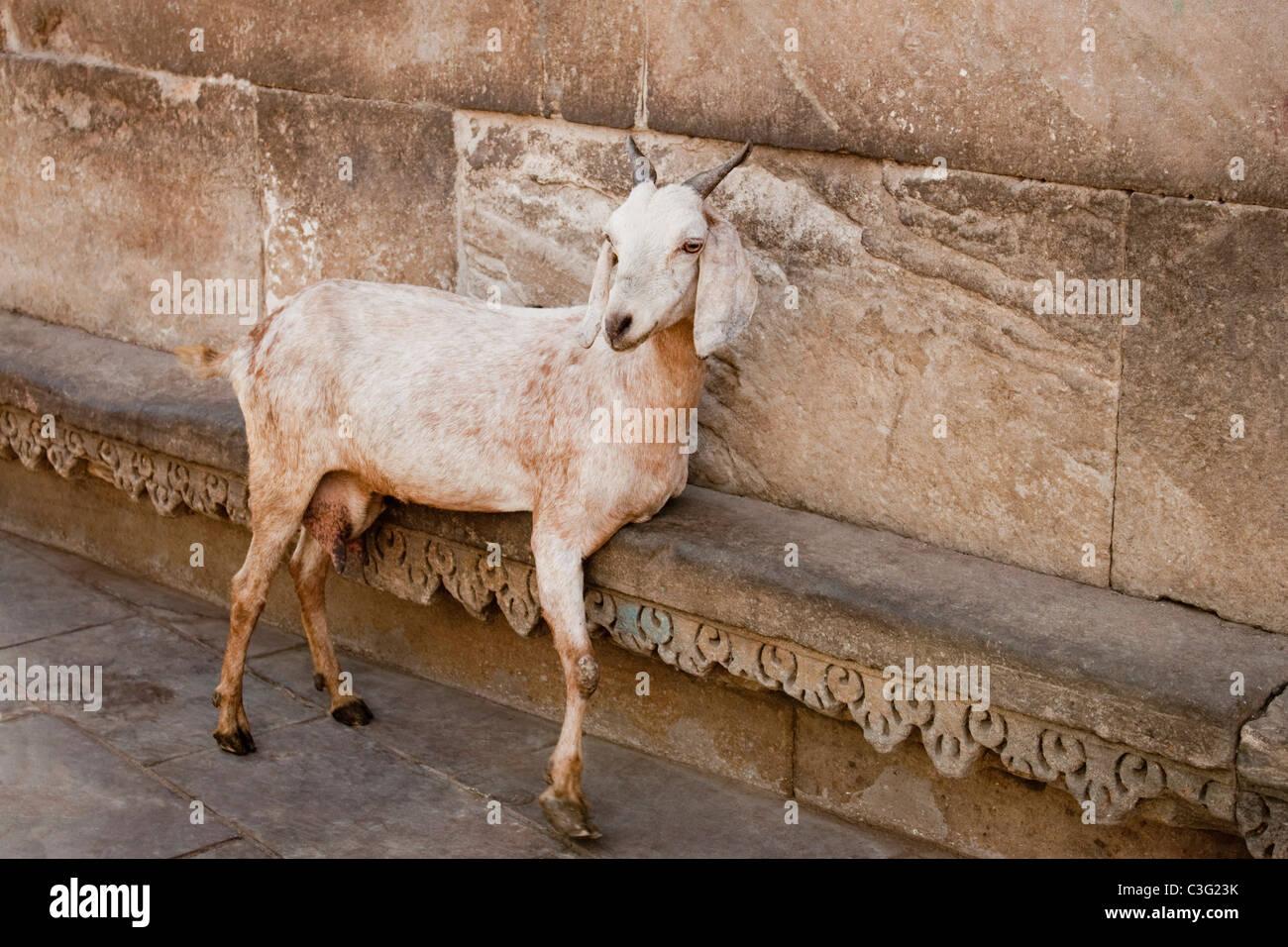 Goat leaning at the wall, Ahmedabad, Gujarat, India - Stock Image