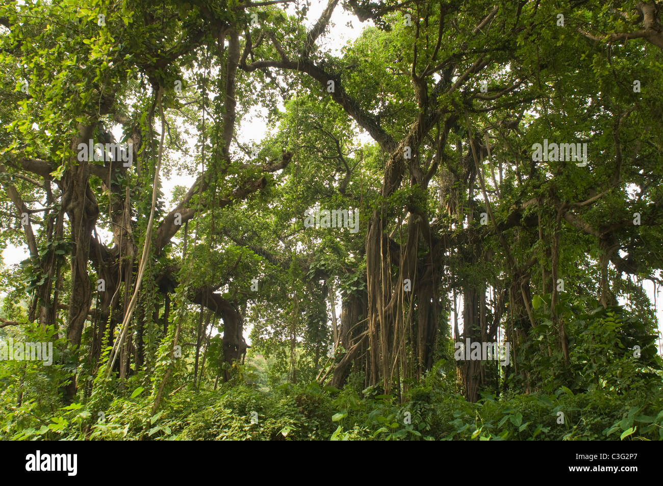 Trees in a forest, Kolkata, West Bengal, India - Stock Image