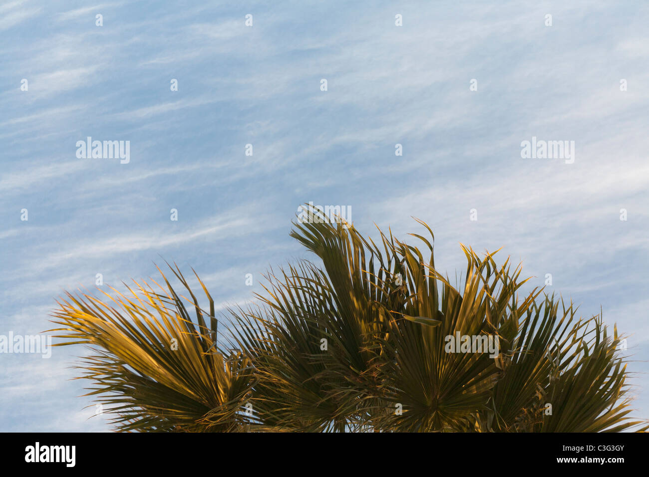 Top of a date palm centred against a lightly cloud mottled blue sky, Egypt, Africa - Stock Image