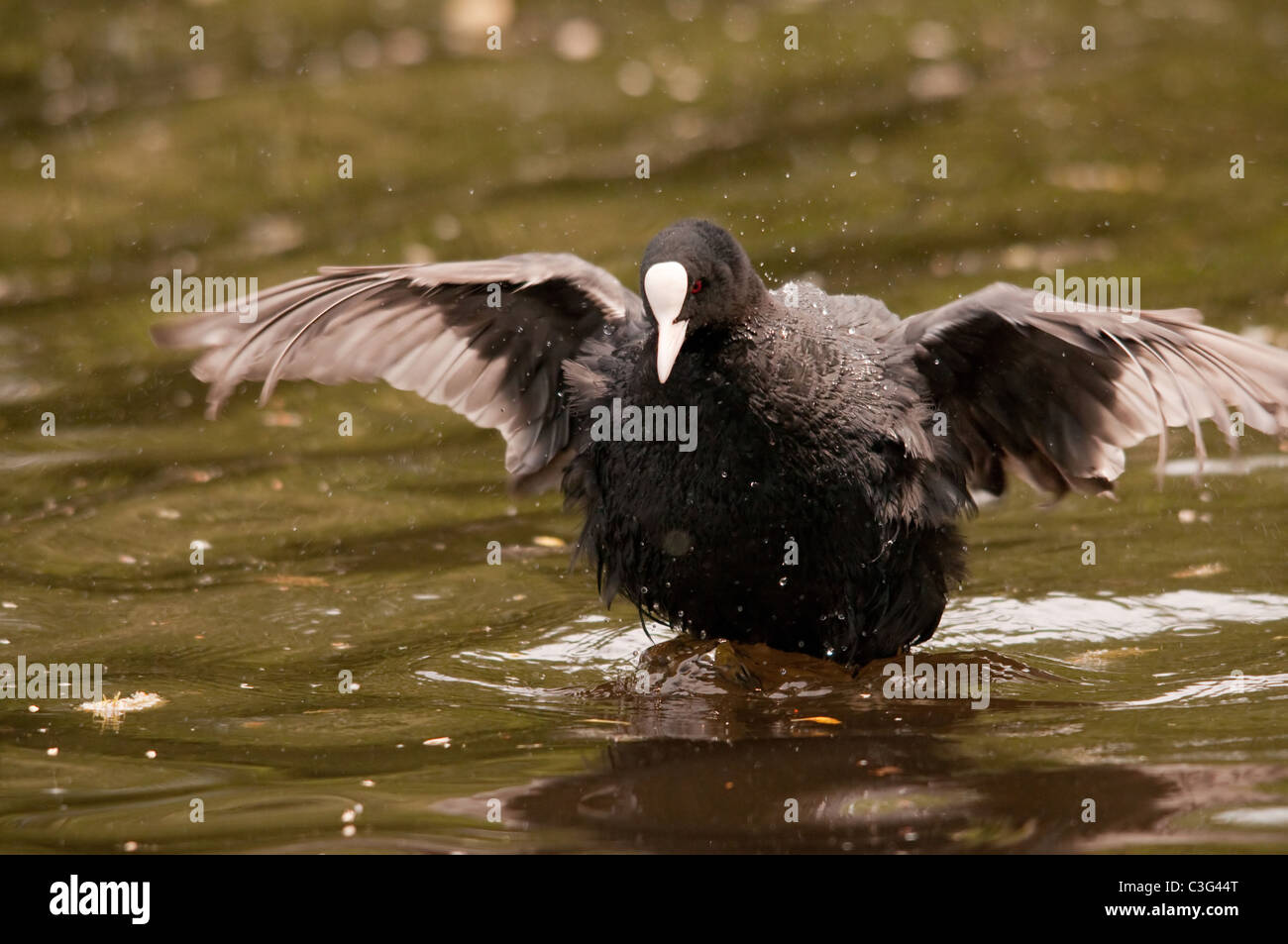 coot exercising wings - Stock Image
