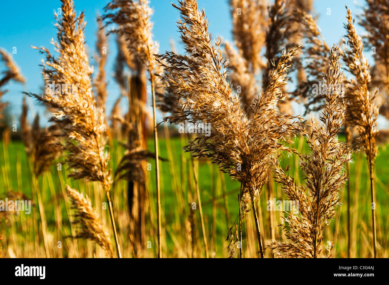 Grass seed heads - Stock Image