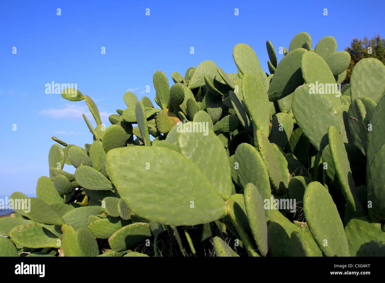 chumbera nopal cactus plant blue sky mediterranean plants - Stock Image