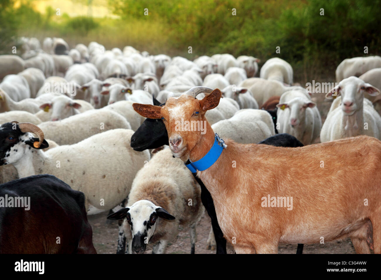 goats and sheep herd flock outdoor track nature animals Stock Photo