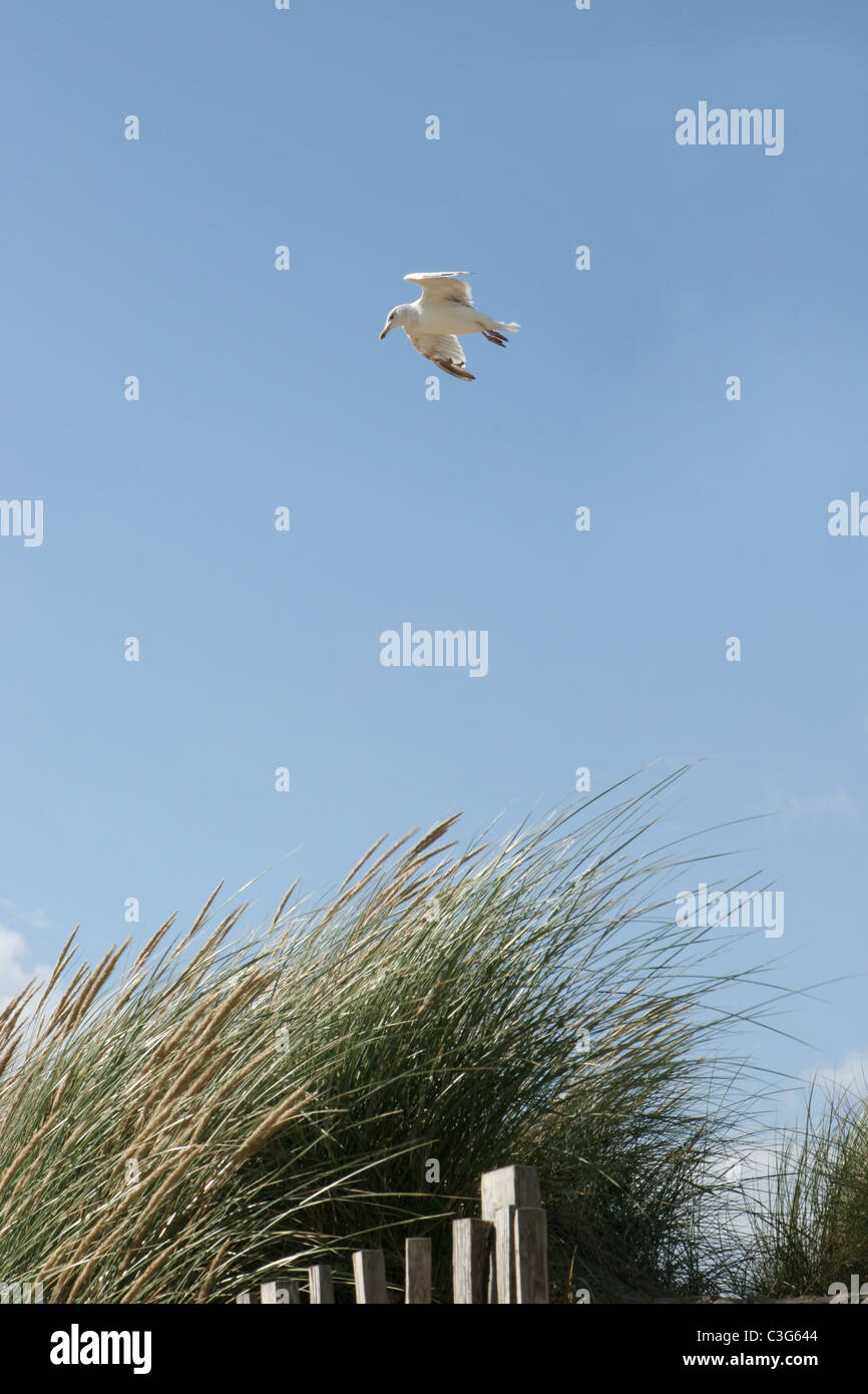 Seagull Floating in Breeze over Sand Dunes at Camber Sands, UK - Stock Image