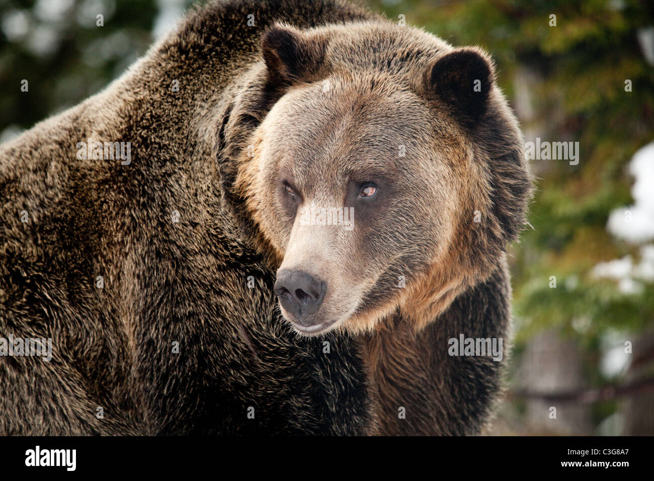 Grizzly bear (Ursus arctos horribilis) in outdoor closeup view. Stock Photo