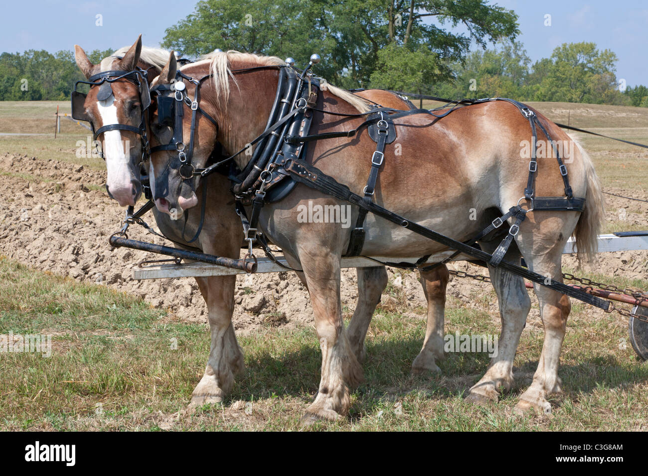 Two horse draft team to be used to plow a field - Stock Image