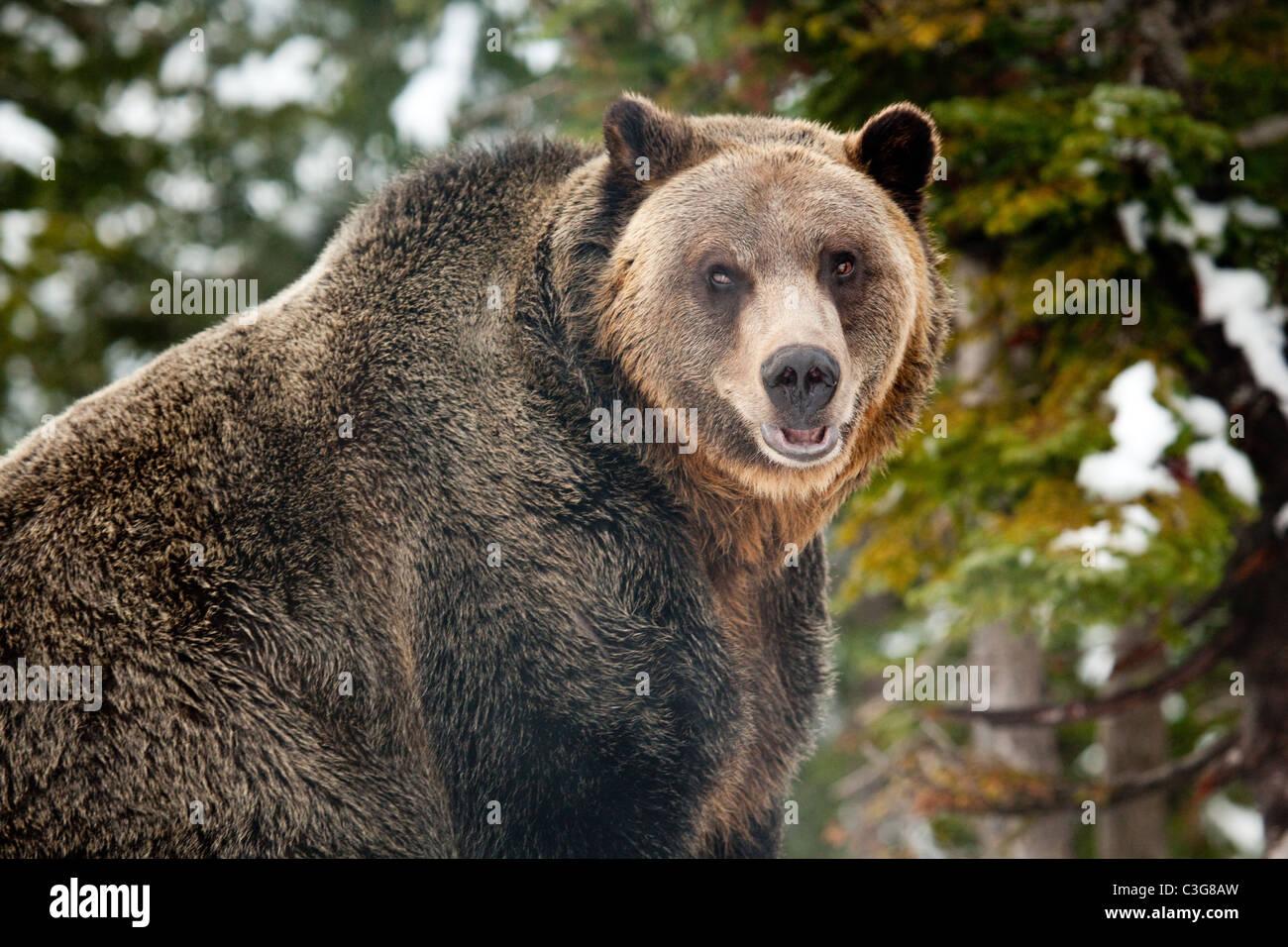 Grizzly bear (Ursus arctos horribilis) in outdoor closeup view. Stock Photo