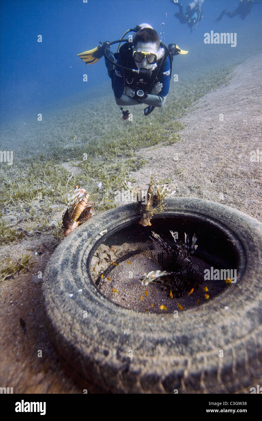 A diver takes a close look at three Lionfish (Pterois miles) inhabiting a  car tyre in the Red Sea near Dahab, Egypt - Stock Image