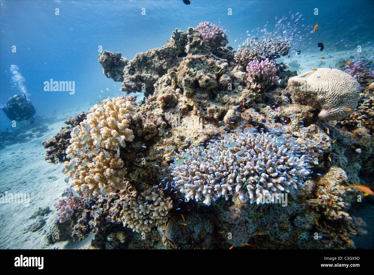 Coral reef in the Red Sea, Dahab, Egypt - Stock Image