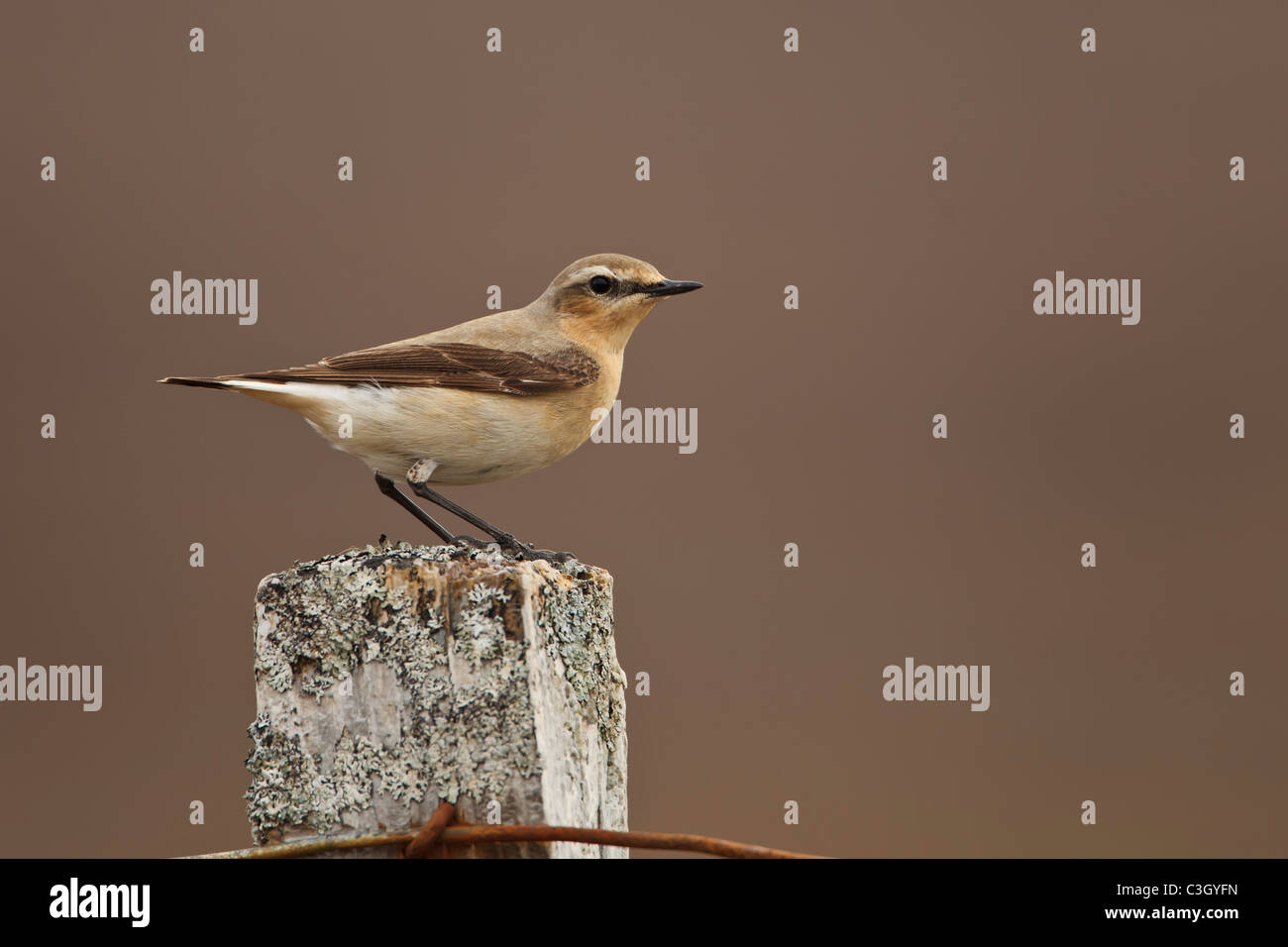 Northern Wheatear (Oenanthe oenanthe) perched on a lichen covered post in the Highlands of Scotland Stock Photo