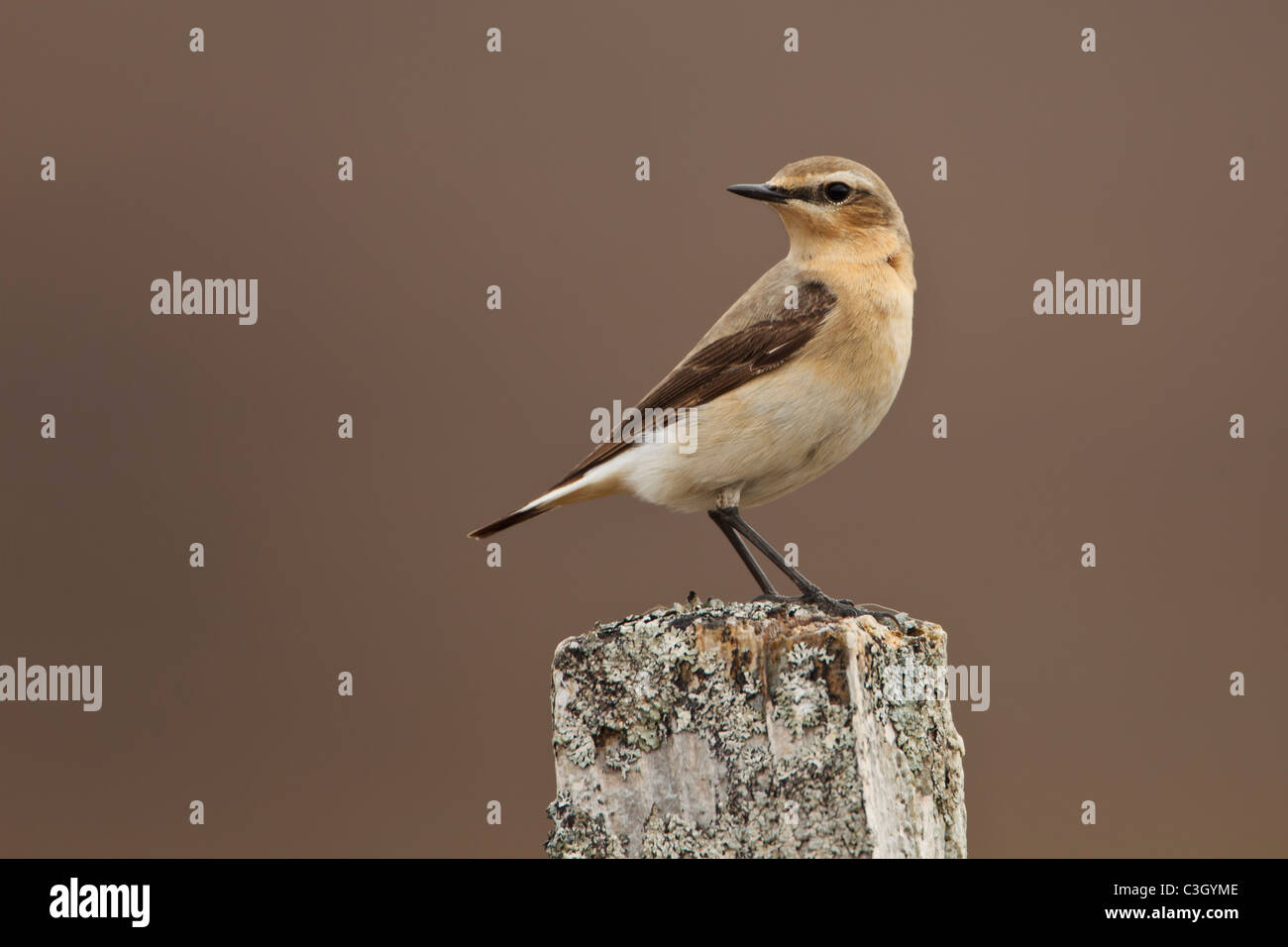 Northern Wheatear (Oenanthe oenanthe) perched on a lichen covered post in the Highlands of Scotland - Stock Image
