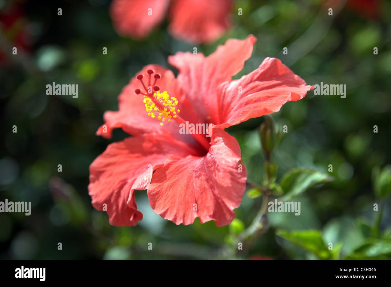 Red hibiscus in full bloom stock photos red hibiscus in full bloom red hibiscus flower in full bloom stock image izmirmasajfo