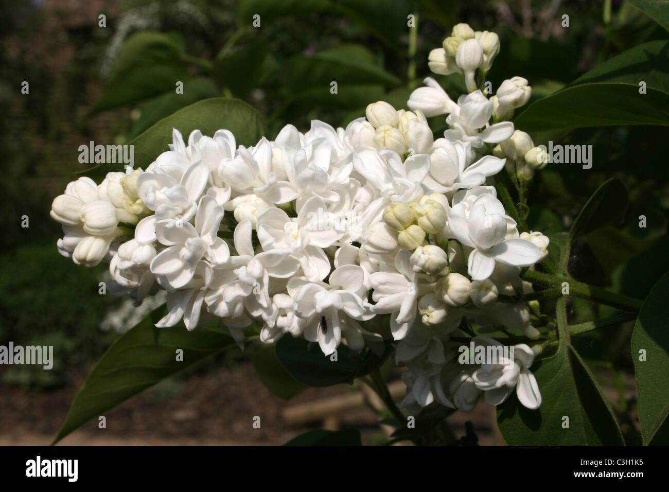 White Lilac Flower Syringa sp. - Stock Image