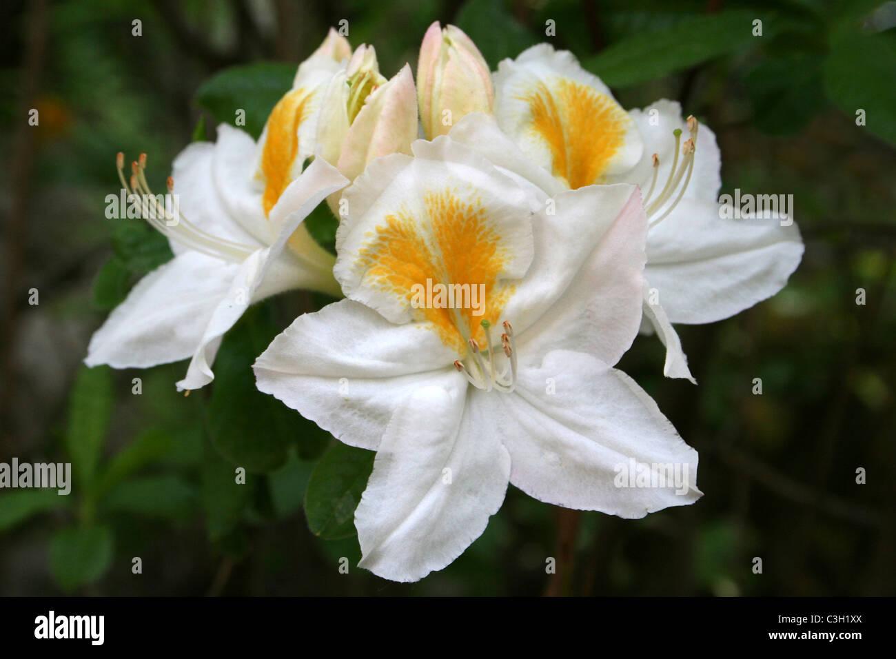 White azalea flowers with yellow splash stock photo 36639426 alamy white azalea flowers with yellow splash mightylinksfo
