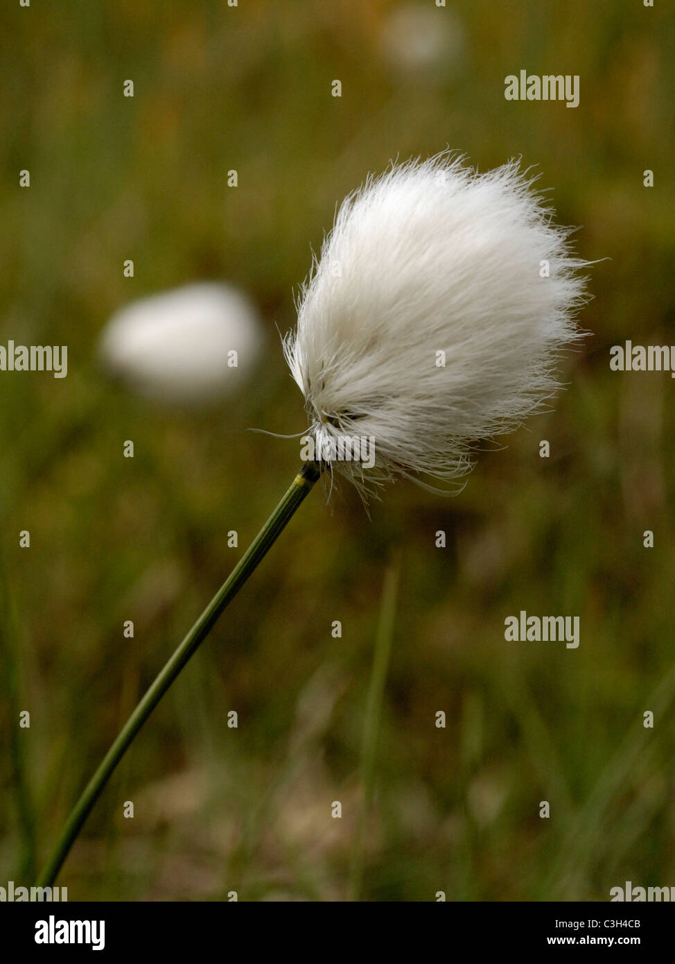 Hare's-tail Cottongrass, eriophorum vaginatum - Stock Image