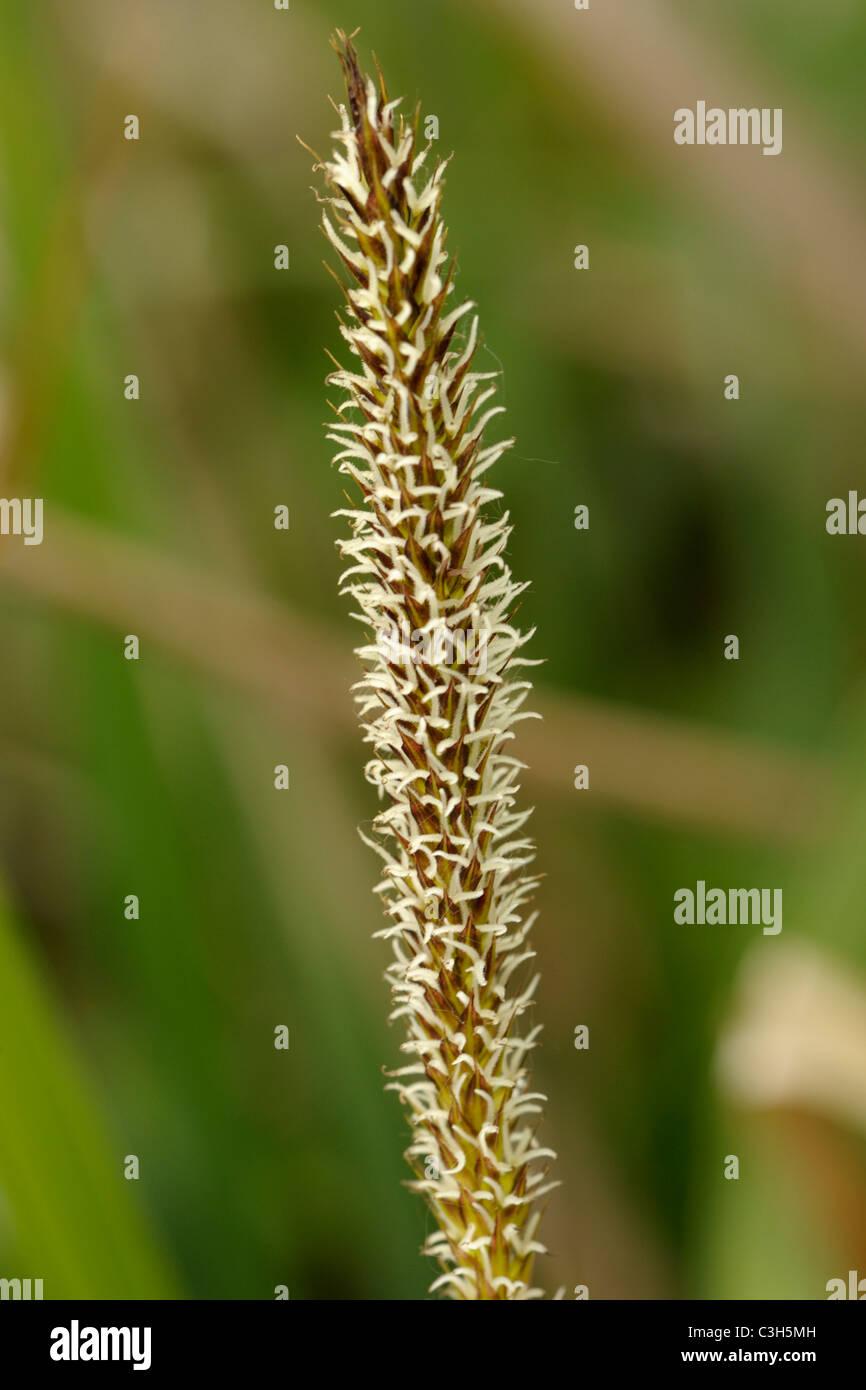 Greater Pond-sedge, carex riparia, female spike - Stock Image
