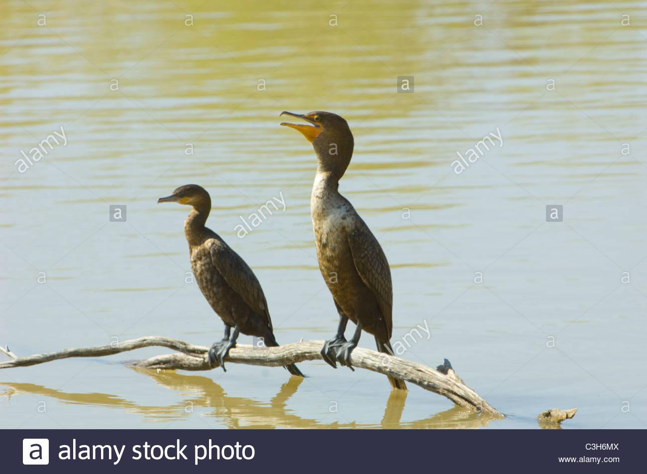 Neotropic Cormorant (Phalacrocorax brasilianus) - Stock Image