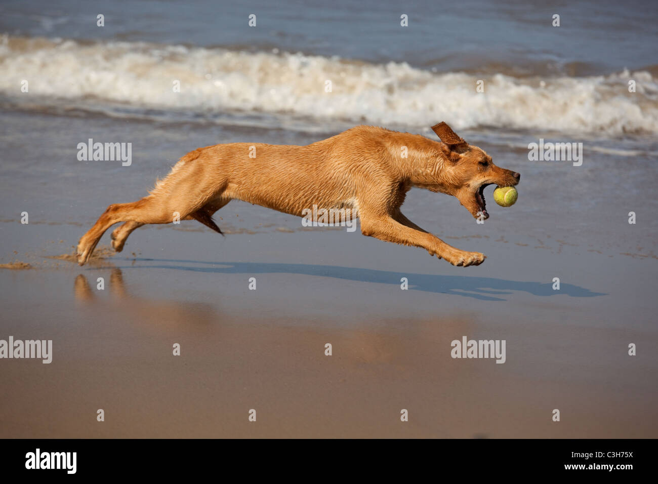 Yellow Labrador playing with ball - Stock Image