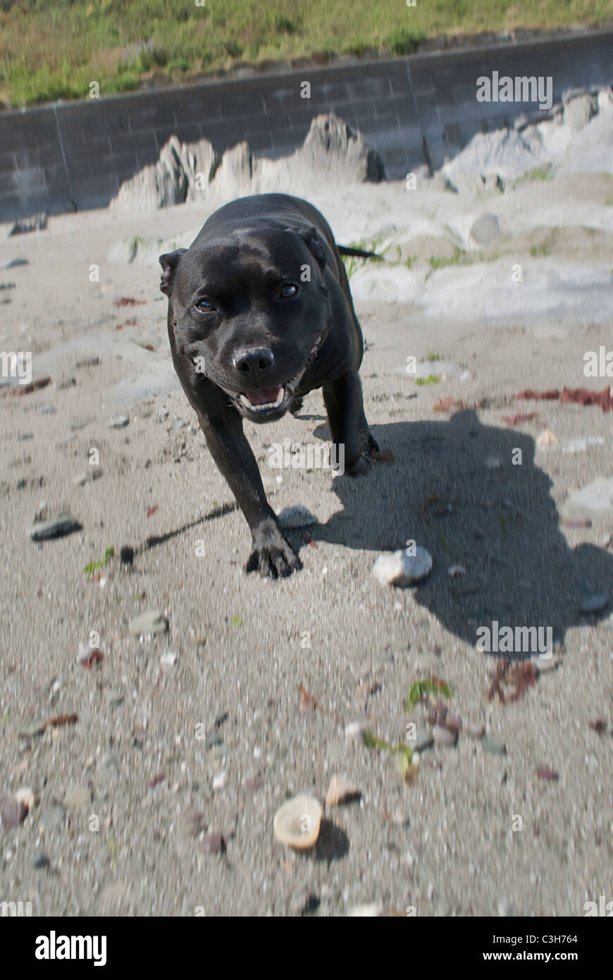 Black Staffie dog on the beach - Stock Image