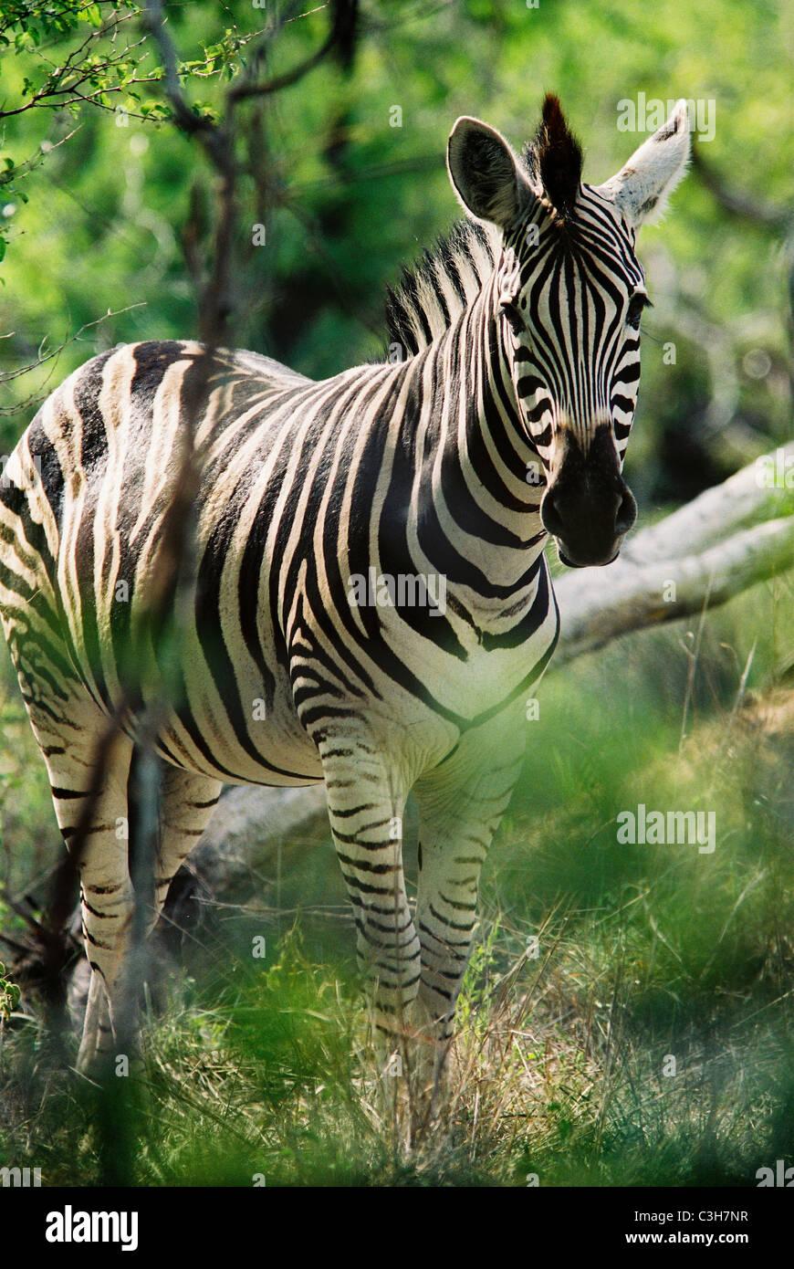 Zebra Burchell's zebra (Equus burchellii) Mala mala South Africa - Stock Image