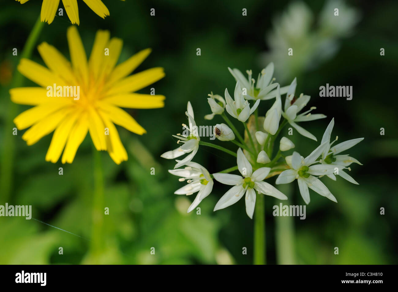 Ornithogalum Type Of Flower With Small Spider On It And Yellow Stock